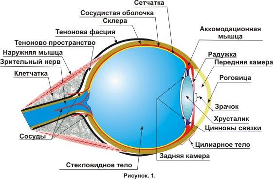 из чего состоит глаз