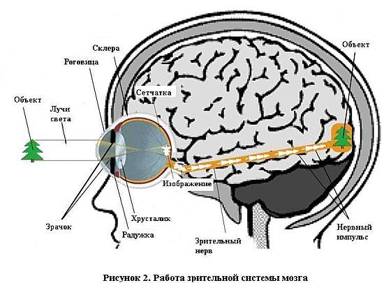 работа зрительной системы мозга